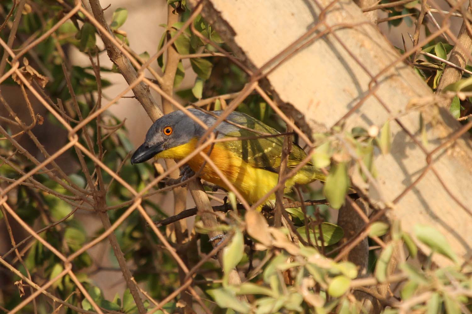 Grey-Headed Bush Shrike