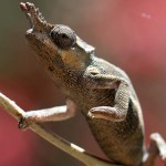 Usambara two horned Chameleon