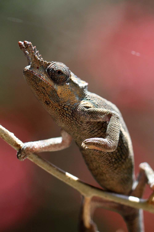 Usambara two horned Chameleon