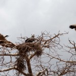 White-backed Vultures and white-headed Vulture