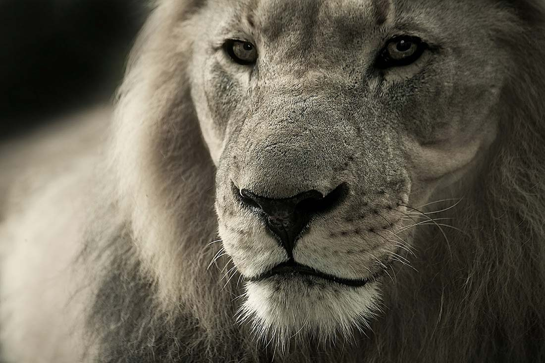 Male Lion in Tanzania.